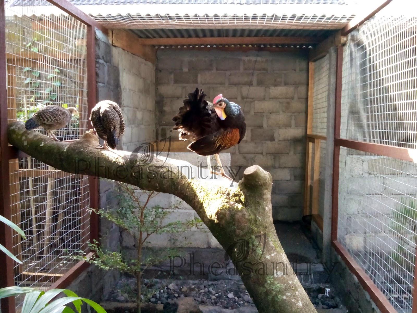 Penangkaran Ayam Alas